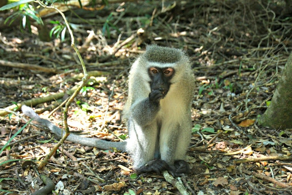 A cute Vervet Monkey foraging for nuts