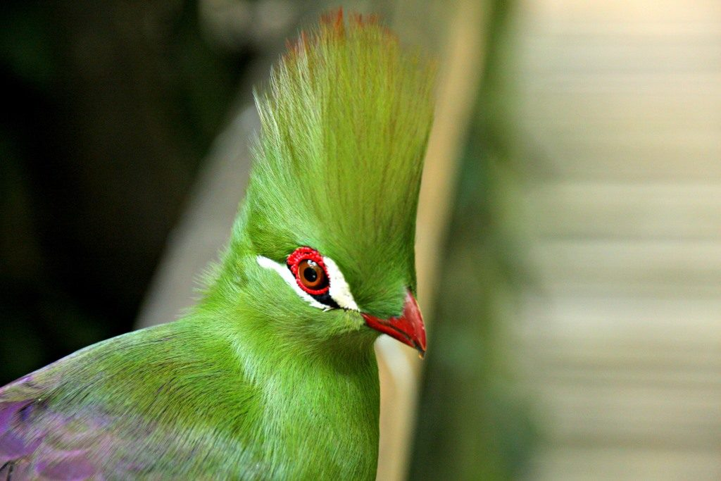 A magnificent Green Turaco at Birds of Eden