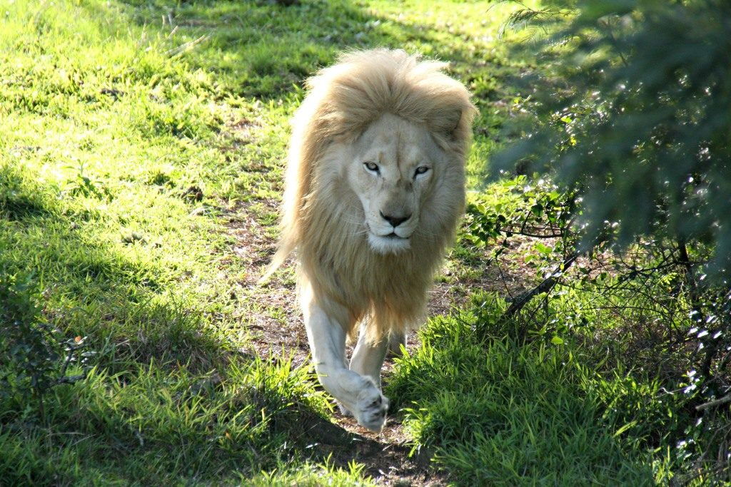 One of Jukani's magnificent White Lions